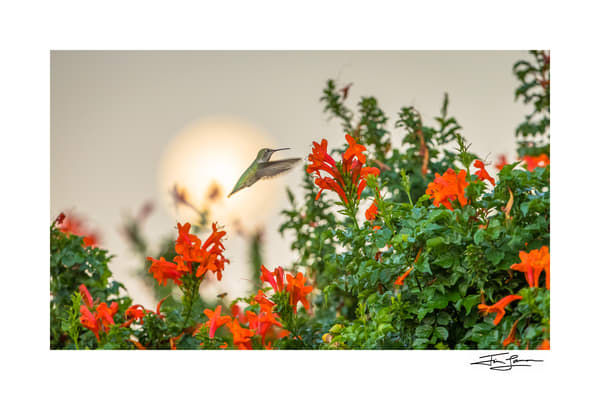 Hummingbird With Moon Photography Art | Tim Laman