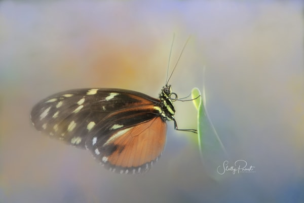 Butterfly Photography Art | Shelly Priest Photography