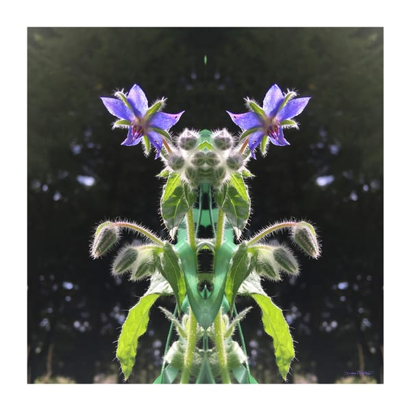 Sparkling Borage Reflections