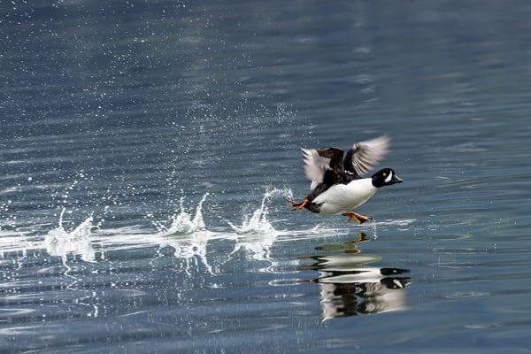Barrows Golden Eye  Water Ballet Art | Alaska Wild Bear Photography
