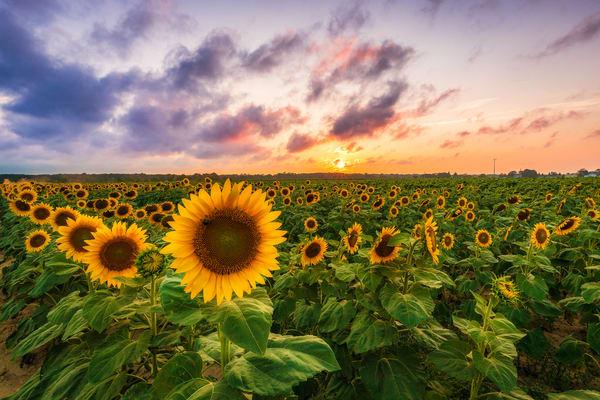 Sunflower Magic 2 Photography Art | Teaga Photo