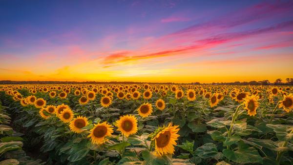 Sunflower Field Pano Photography Art | Teaga Photo
