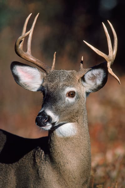 White-tail Buck Portrait
