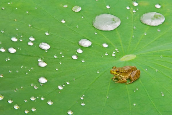 Green Frog on Lotus Pad