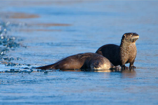 River Otters On Ice