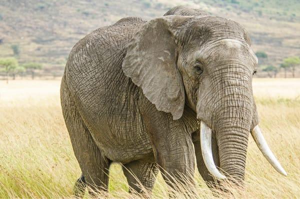 Wise, Old, Elephant, Tusks, Kenya