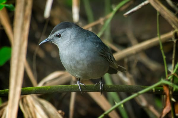 Grey Catbird Perched on Plant Stalk
