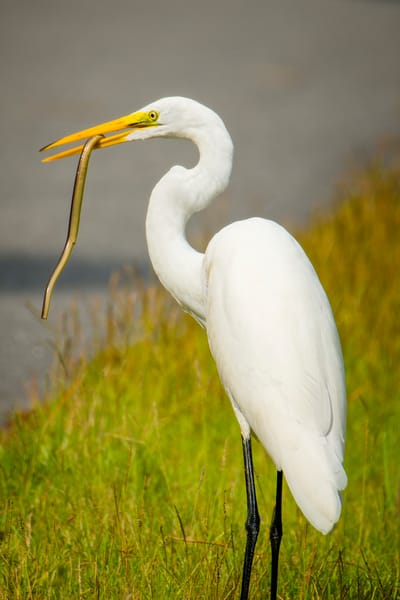 Great Egret with a Mid Morning Snack
