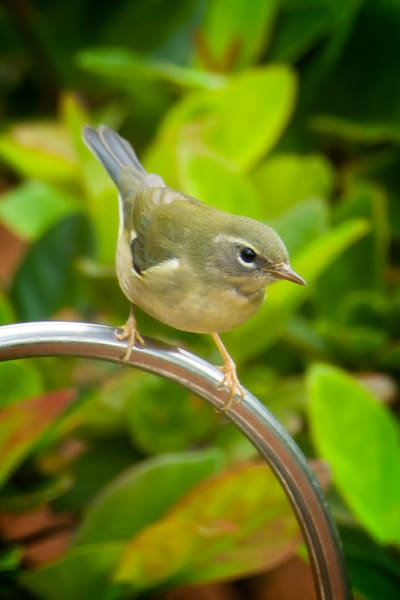 Female Black Throarted Blue Warbler at Bird Bath