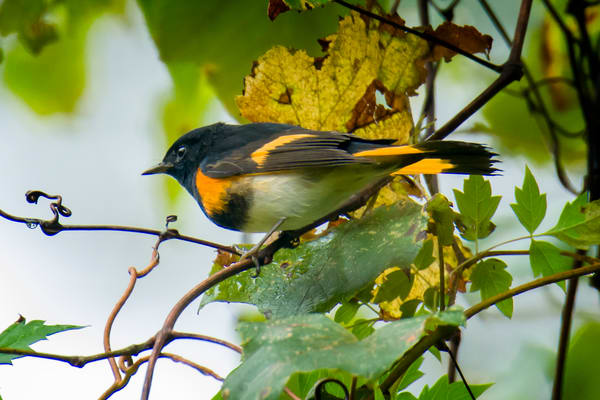 Male American Redstart in Tree