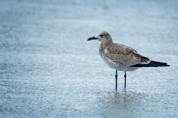 Juvenile Laughing Gull Standing in Shallow Water