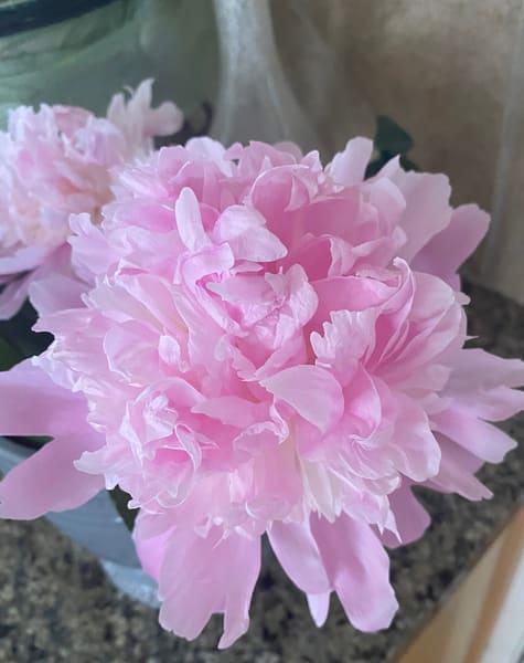 Peony - Flowers