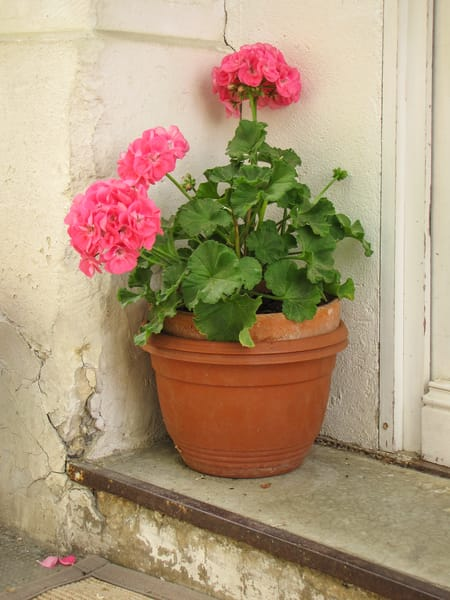 Pink Potted Geraniums Photography Art | Julie Williams Fine Art Photography