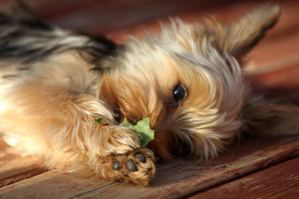 Yorkshire Terrier With A Leaf Photography Art | Julie Williams Fine Art Photography