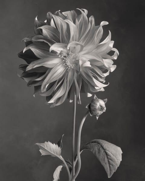 Dahlia Art | Sondra Wampler | fine art