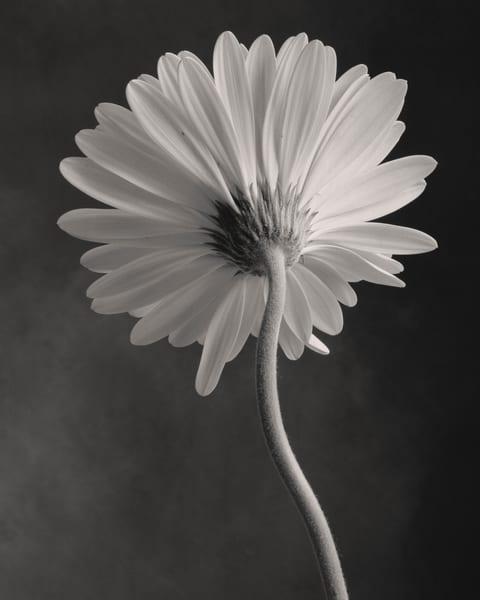 Gerbera No 2 Art | Sondra Wampler | fine art