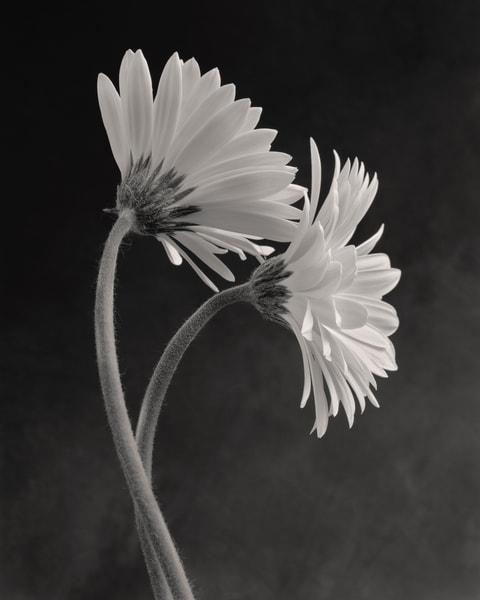 Gerbera No 4 Art | Sondra Wampler | fine art