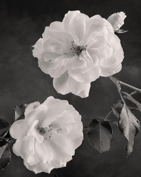 Iceberg Roses Art | Sondra Wampler | fine art