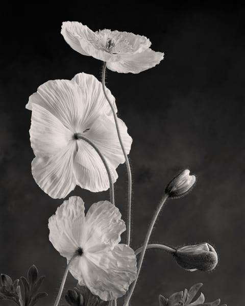 Iceland Poppy No 2 Art | Sondra Wampler | fine art