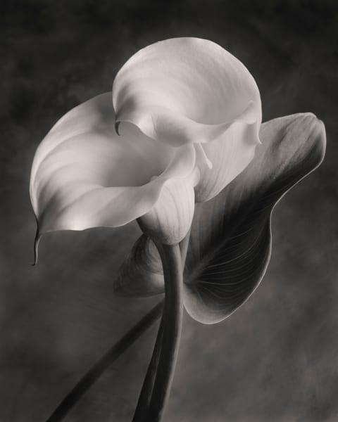Lily No 2 Art | Sondra Wampler | fine art
