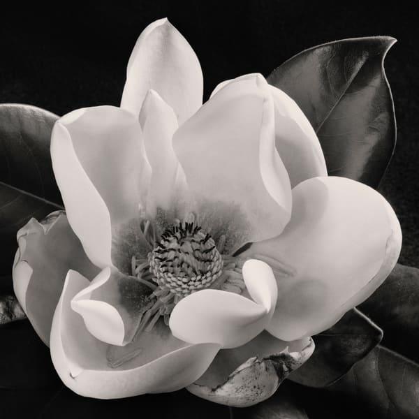 Magnolia No 1 Art | Sondra Wampler | fine art
