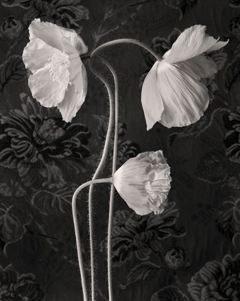 Poppy No 5 Art | Sondra Wampler | fine art