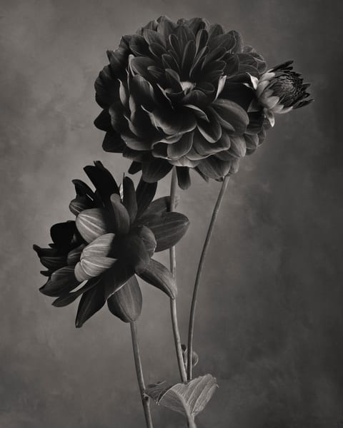 Ruby Dahlia Art | Sondra Wampler | fine art