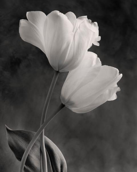 Tulip No 15 Art | Sondra Wampler | fine art