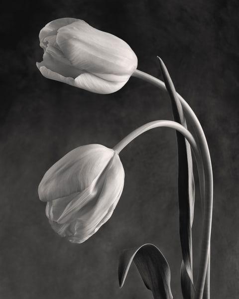 Tulipia Art | Sondra Wampler | fine art