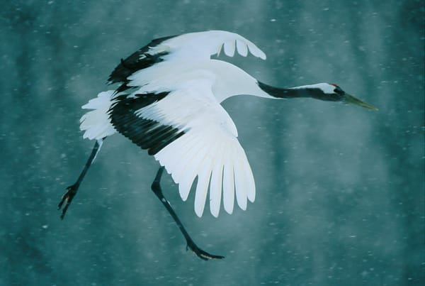 Portrait of a red-crowned crane in flight.