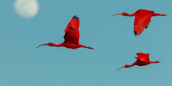 Artistic flight shot of scarlet ibises flying by moon.