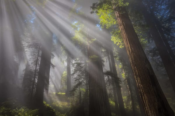 Misty, foggy Redwood forest