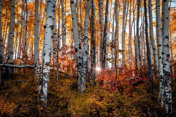 Colorado Aspen Trees Fall Colors in Autumn