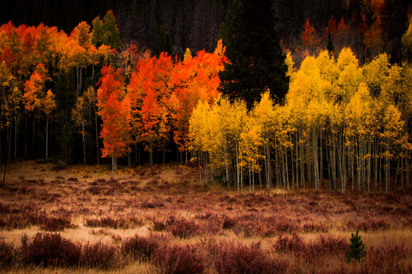 Aspen Autumn Fall Colors Wall Art Home Decor Landscape