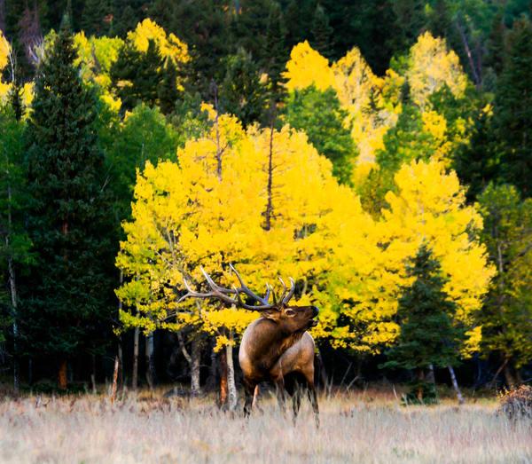 Estes Park Colorado Elk Rut in Fall Colors