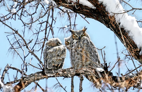 Owl and Owlets after a spring snow come to Perch in Colorado on a great big Tree and mother watches over them in this Wildlife Photography Image
