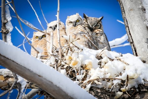 Owls and Owlets of Great Horned Owl family sit in the sun in Colorado
