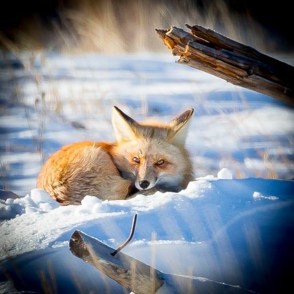 Fox Wall Art Photography In Winter Park Colorado