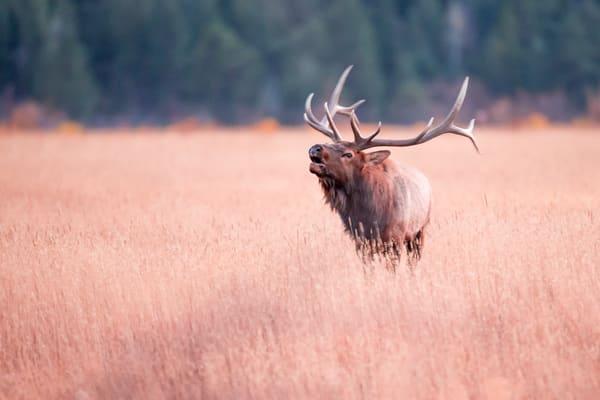 Bull Elk Bugle In Rocky Mountain National Park