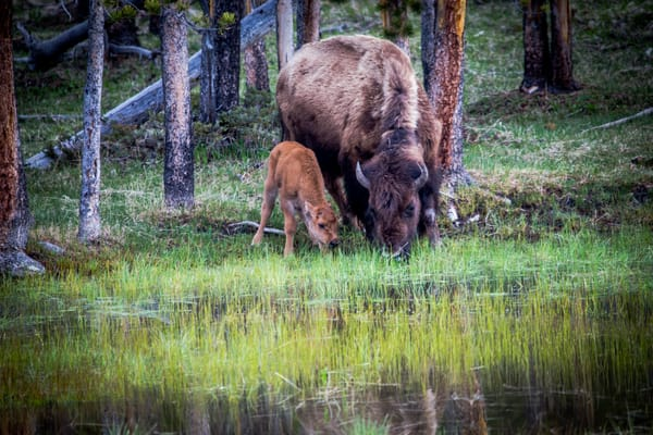Buffalo In Yellowstone and a Calf