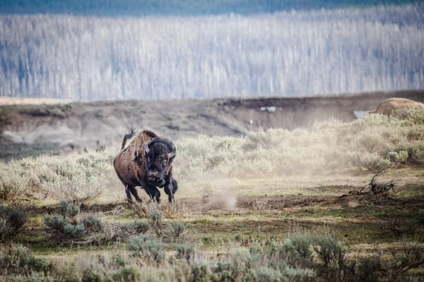 Bison Rut Buffalo Charge In Yellowstone National Park