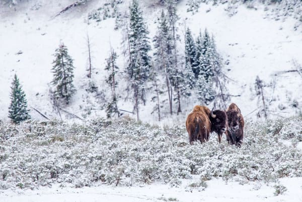 Buffalo Fighting Bison Photography in Yellowstone National Park