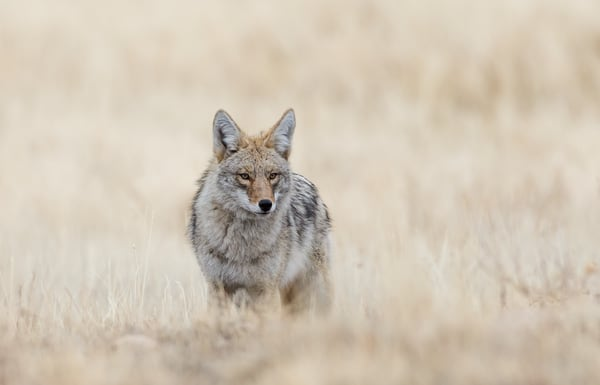 Coyote In Rocky Mountain National Park Wildlife Photography