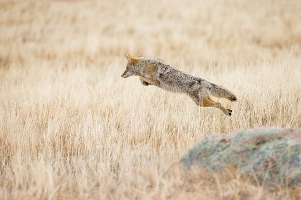 Coyote Hunting Pounce Flying Through The Air In Rocky Mountain National Park Wall Art Photography