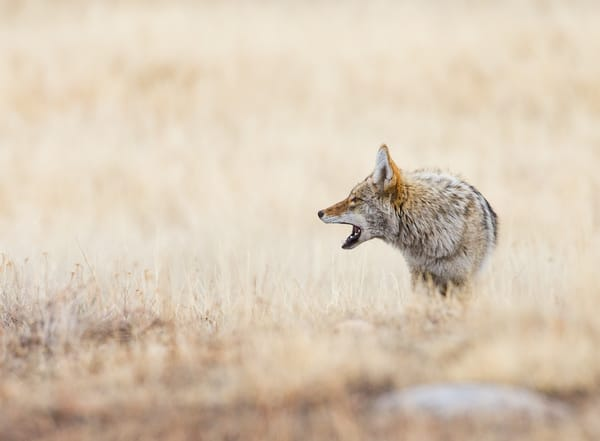 Coyote Howling In Rocky Mountain National Park Wall Art