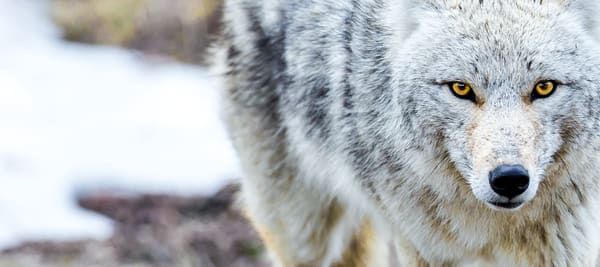 Coyote In Yellowstone National Park Photography