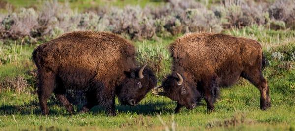 Buffalo Rut InYellowstone National Park Wall Art
