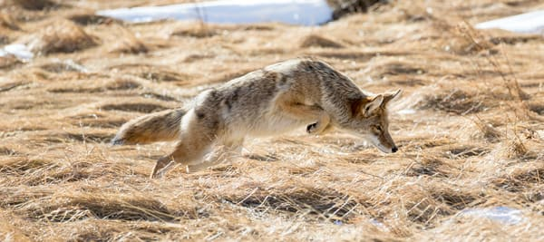 Coyote Hunting Rocky Mountain National Park In Fall Wall Art
