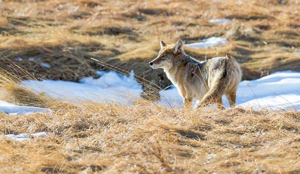 Spring Coyote in Colorado