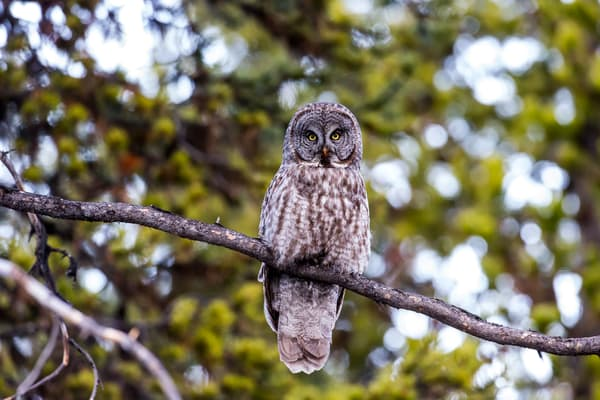 Great Gray Owl In Yellowstone National Park Art Photography
